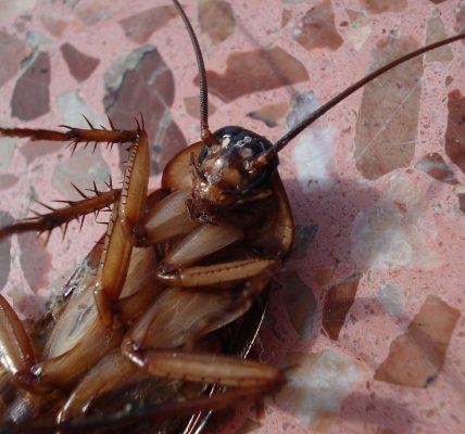Jak wytępić karaluchy domowym sposobem Karaluchy w domu