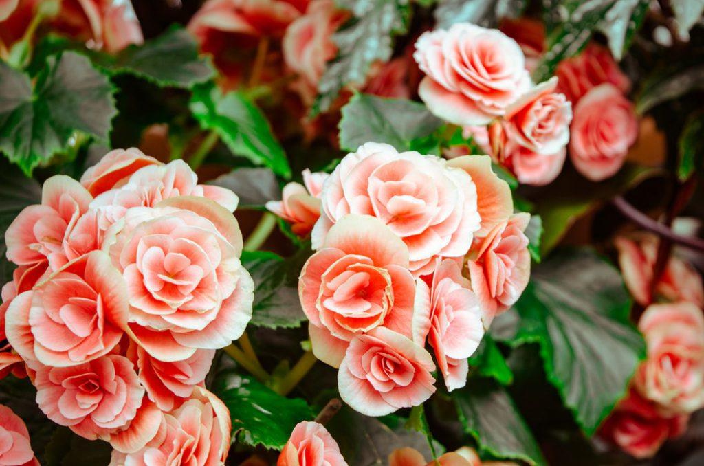 Kwitnienie róż – czym nawozić w okresie intensywnego kwitnienia?
