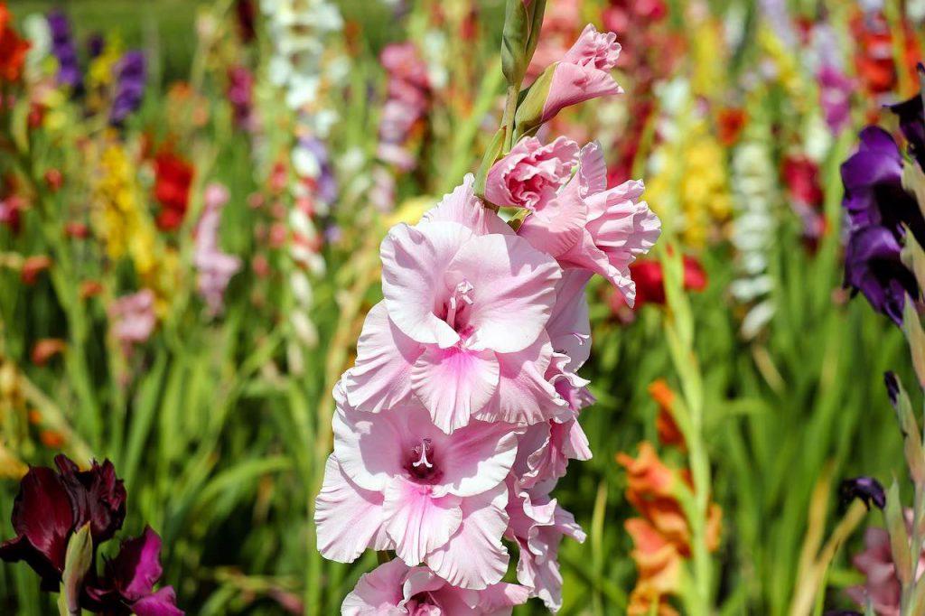 Mieczyk-Gladiolus - kolorowe szable kwiatów w ogrodzie